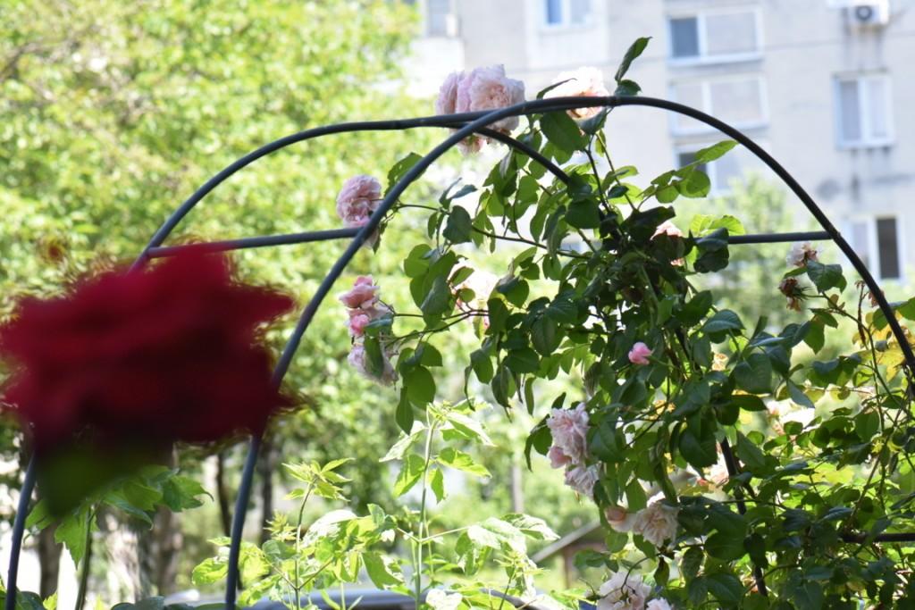 Trandafiri si musafiri (87) (FILEminimizer)