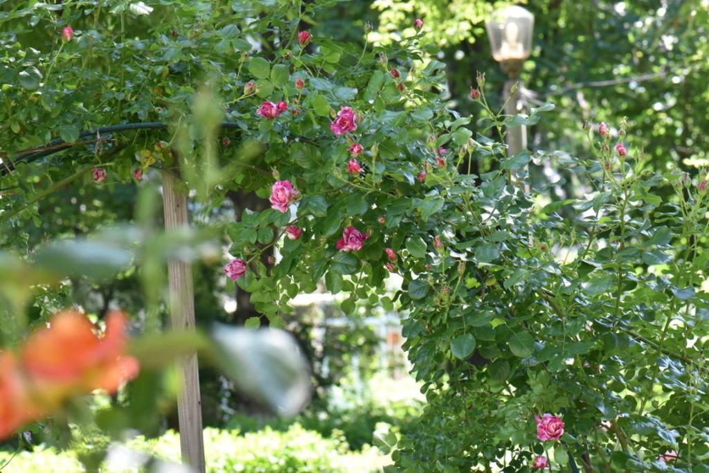 Trandafiri si musafiri (89) (FILEminimizer)