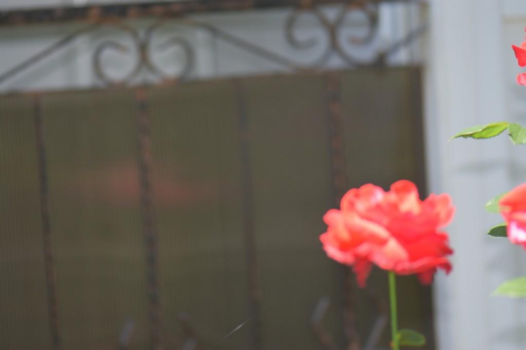 Trandafiri si musafiri (9) (FILEminimizer)
