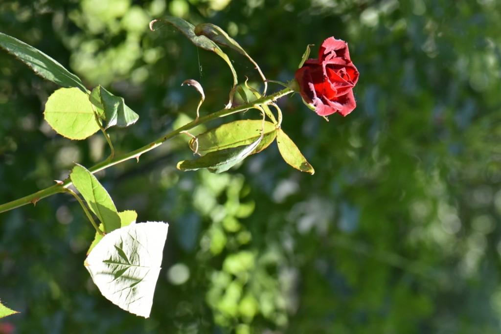 Trandafiri si musafiri (90) (FILEminimizer)